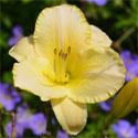 awww.gartikon.de_Bilder_Pflanzen_Taglilien_456.jpg