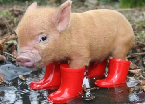 Schweinchen mit Gummistiefel.jpg