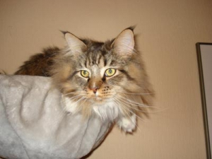Unsere Maine Coon Kater