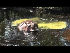 Hippo scheißt den Pool voll ;-)