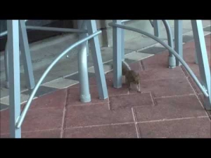 Squirrel at Hooters in Tampa/Florida